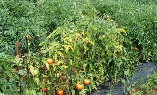 Немаловажное значение имеет соблюдение режима поливов. При недостаточных поливах растения увядают и сохнут, а длительная нехватка влаги может полностью погубить томаты