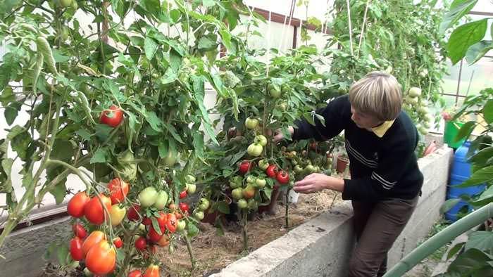Особенное значение имеет процесс обрезки для наиболее высокорослых тепличных сортов томатов
