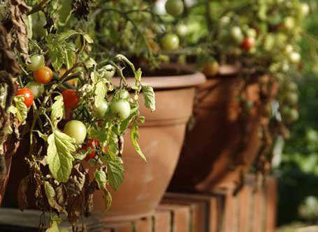 С появлением желтизны на листьях и плодах помидоров встречаются многие огородники