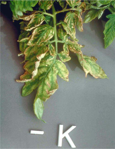 Листья томатов очень часто желтеют в результате нехватки в тепличном грунте необходимых для роста и развития питательных веществ и микроэлементов