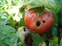 Дырки в помидорах делают гусеницы, способные испортить весь урожай