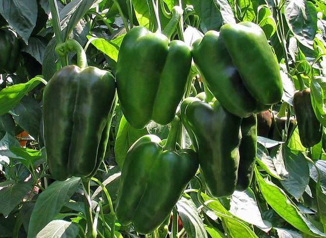 Сорт «Форвард» – сильнорослый тип индетерминантных крупноплодных перцев