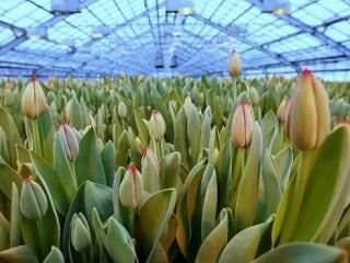 Разведение в теплице тюльпанов – сложное, но интересное дело