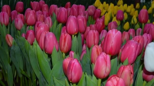 До начала цветения почва должна быть влажной, только после появления бутонов полив можно сократить в 2 раза