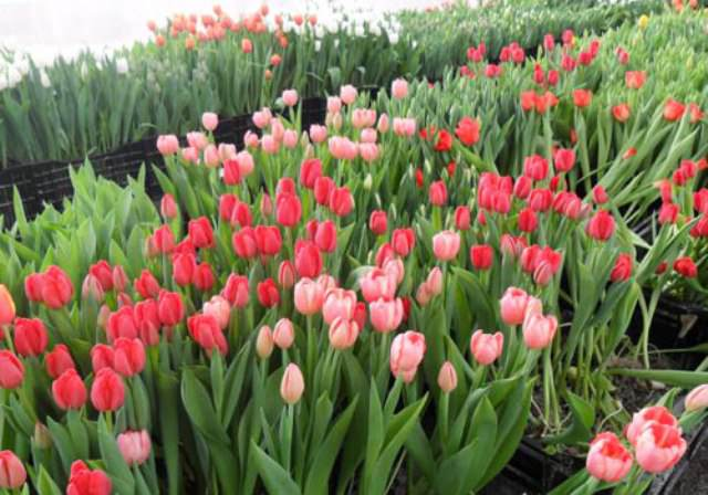 Для ускорения цветения придется проводить опрыскивание растений 3 раза в день