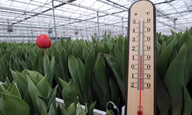 При выращивании тюльпанов важную роль играет именно температура