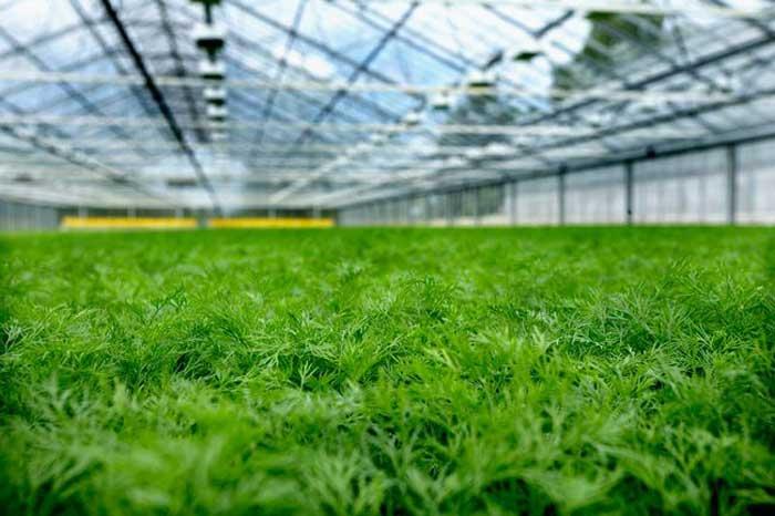 Мы выращиваем укроп круглогодично и даже в суровом климате. Урожай получается хорошим, если следовать некоторым правилам