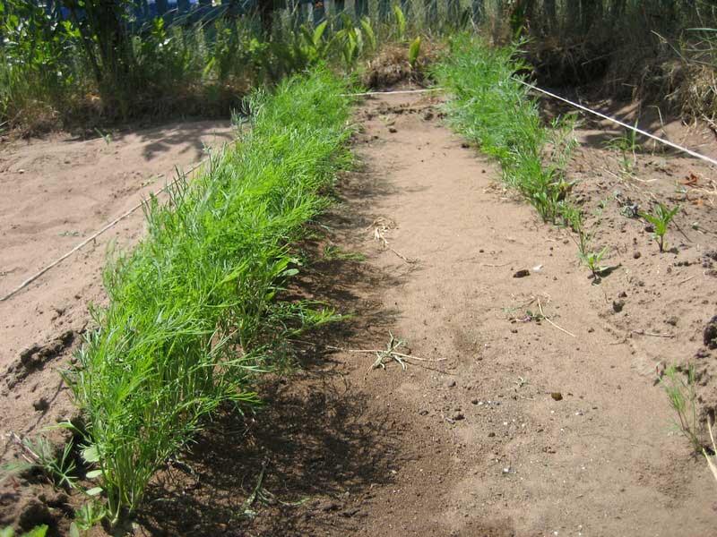 Укроп зреет долго и вам необходимо будет обезопасить его от болезней и вредителей, иначе хорошего урожая можно не ждать