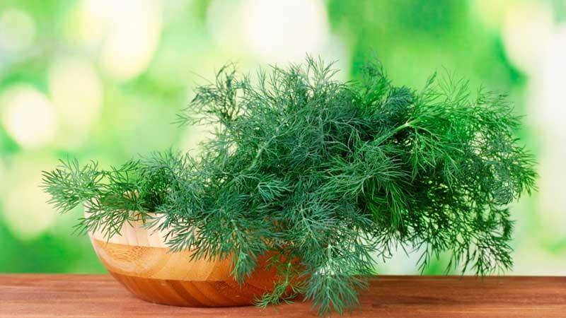 Выращивание укропа в теплице ведется в обычном грунте