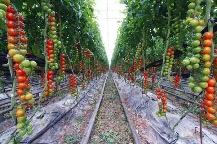 Выращивание сорта в тепличном сооружении очень удобно, так как растение стремится оплести все своими ветвями и начинает стелиться по потолку