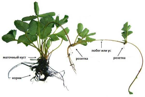 Клубника выращивается в современных тепличных конструкциях с использованием посадочного материала в виде усов