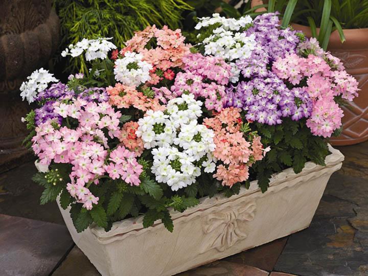 Род растений семейства Вербеновые содержит около 250 видов, произрастающих в тропиках и субтропиках Америки.