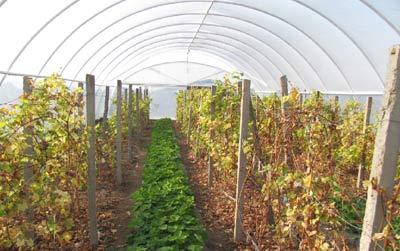 Выращивание винограда в теплице оправданно, в особенности для тех регионов, которые не отличаются теплым климатом