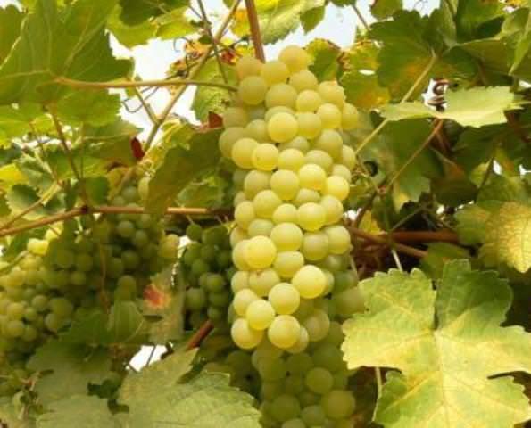 Во время созревания ягод растения поливают следующим раствором: на ведро воды берется по 50 г калийных и фосфорных удобрений