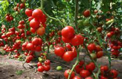 Основной задачей ухода за томатами в конце лета является ускорение их созревания и защита от различных болезней