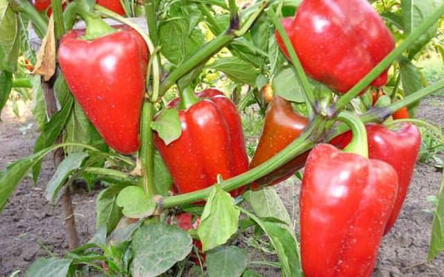 В парниках с марта по апрель высаживают перец. Его всхожесть составляет 2 недели, при температуре от 18 градусов