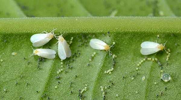 Самки тепличной белокрылки выполняют яйцекладку на молодых помидорных листьях