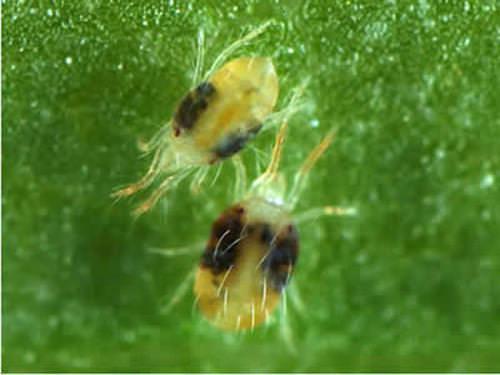 Паутинные клещи поражают огурцы в жаркую и сухую погоду. Питаются они соком растения