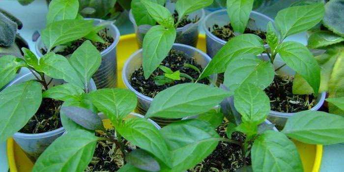 Уход в виде формирования требуется, когда у растения образуется 10 листьев