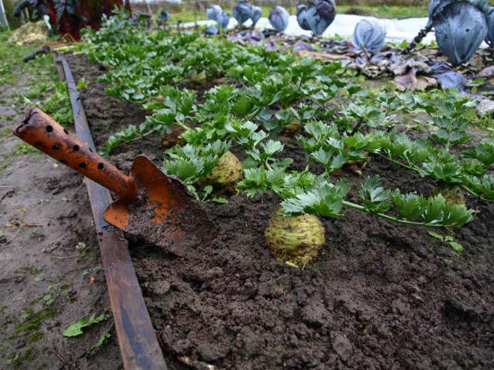 Уход за высаженными в теплицу или открытый грунт растениями не требует много времени или сил и состоит в поливах и прополках