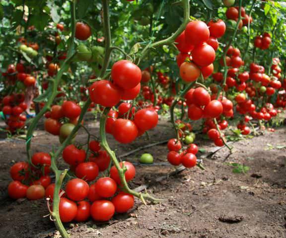 От правильной посадки рассады зависит дальнейший урожай томатов