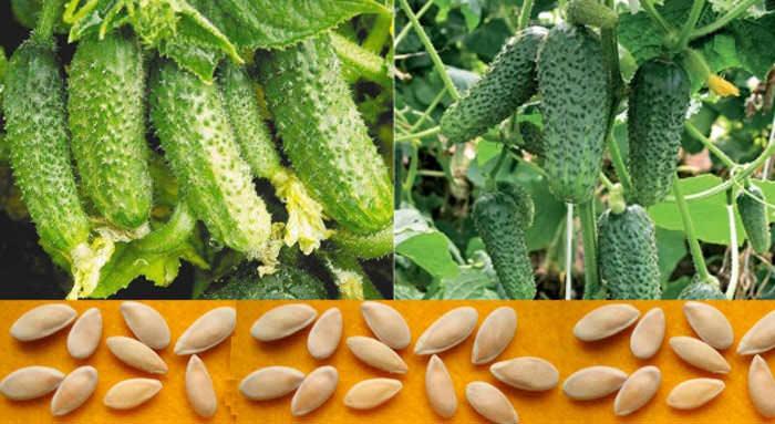 Чистосортность семенного материала определяется содержанием семян, относящихся к определённому сорту в условиях всей семенной партии, и выражается в процентном соотношении по ГОСТу
