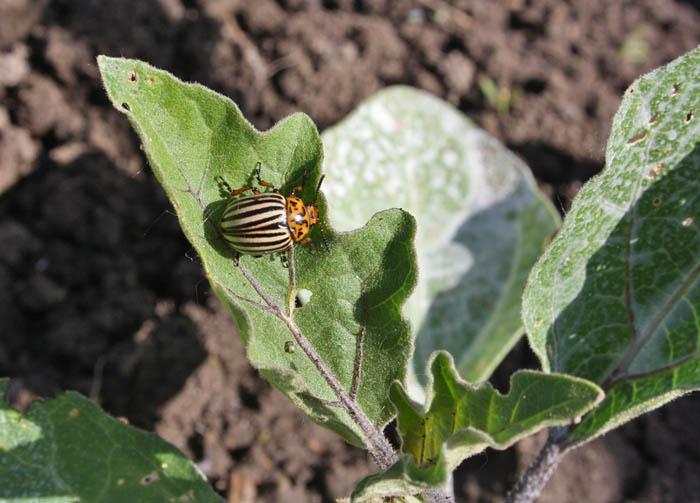 Колорадский жук – злейший враг баклажан