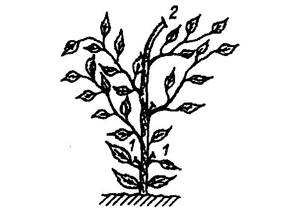 Удаление нижних отростков на баклажанах может спровоцировать перегрев овощной культуры