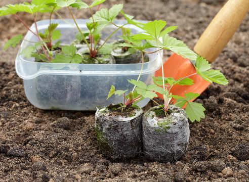 Высаживать рассаду садовой земляники можно при наличии пяти настоящих листьев