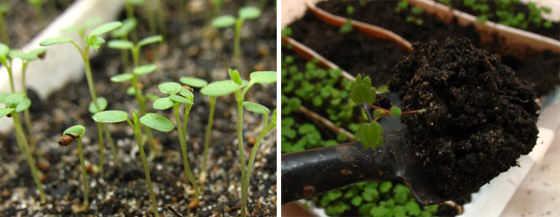 При высадке рассады следите за тем, чтобы клубника не слишком углублялась, а листочки были на поверхности
