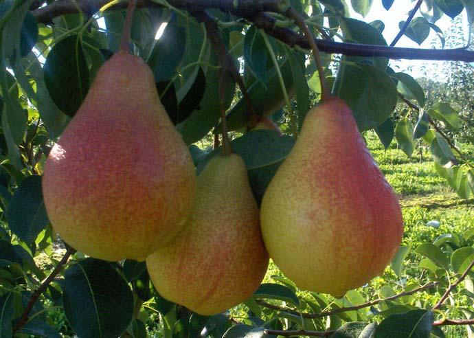 Любимица Клаппа характеризуется регулярным и стабильным щедрым плодоношением в течение нескольких десятков лет