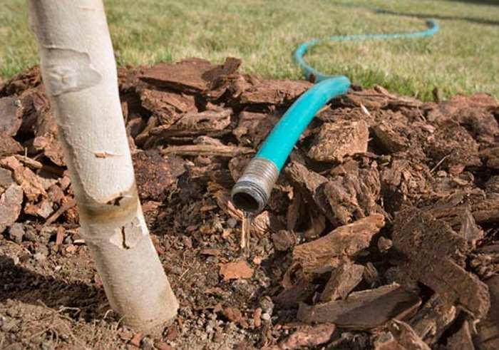 Очень важно провести обильный полив саженцев, расходуя не менее двух ведер воды на каждое растение