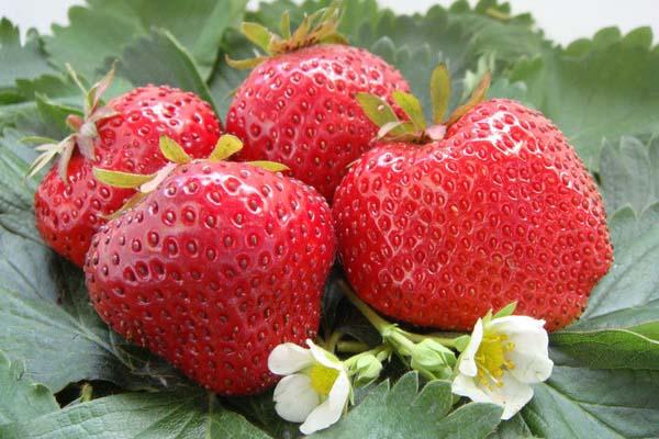 «Gigantella Maxim» обладает очень высокой и стабильной урожайностью из года в год