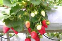 Выбор сорта клубники для тепличного выращивания