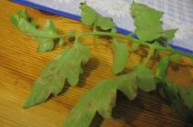 Пятна на листьях томатов: причины появления и способы устранения
