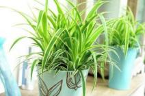 Уход за хлорофитумом в домашних условиях