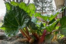 Секреты выращивания ревеня в теплице