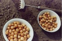 Особенности посадки семейного лука