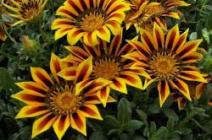 Экзотичная «ромашка» на вашем участке: как правильно выращивать гацанию