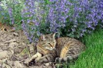 Полезна ли кошачья мята для кошек?