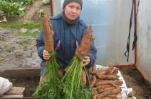 Выращивание моркови в теплице: выбор сорта и особенности агротехники