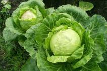Соблюдение севооборота – залог хорошей урожайности капусты