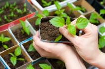 Как удобрять рассаду перца: виды и особенности внесения подкормок