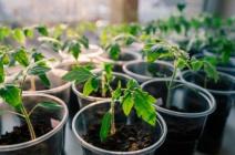 Способы и технология пикировки томатов