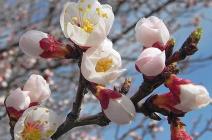 Как правильно ухаживать за абрикосом весной