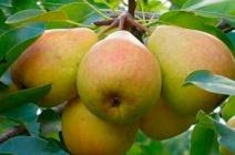 Груша «Любимица Клаппа»: описание сорта и особенности выращивания