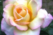 Выращивание розы Глория Дей